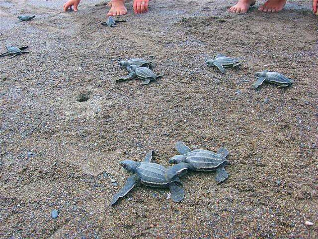 Turtles in Costa Rica