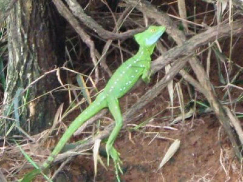 Cano Negro Costa Rica Lizzards