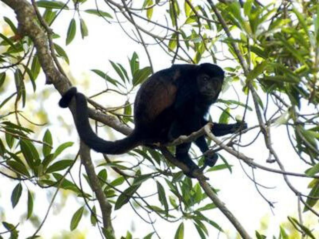 Monkeys Cano Negro Costa Rica