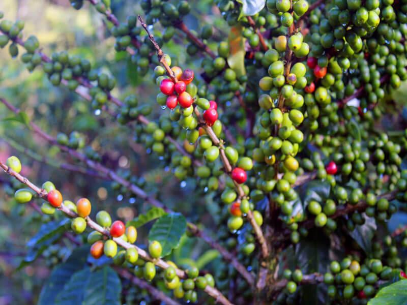 Coffee Plants Monteverde Costa Rica
