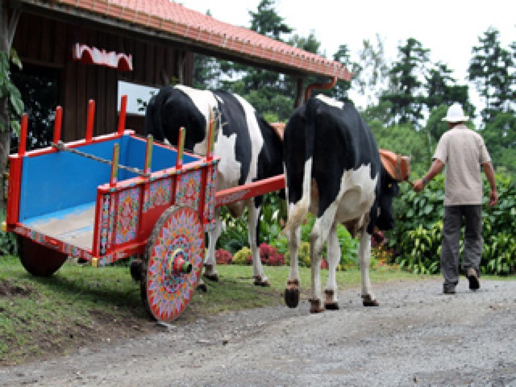 Riding on an Ox Cart Juan Coffee Tour Monteverde Costa Rica
