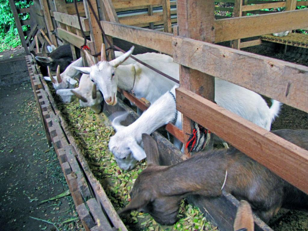 Goats at LIFE Monteverde Costa Rica