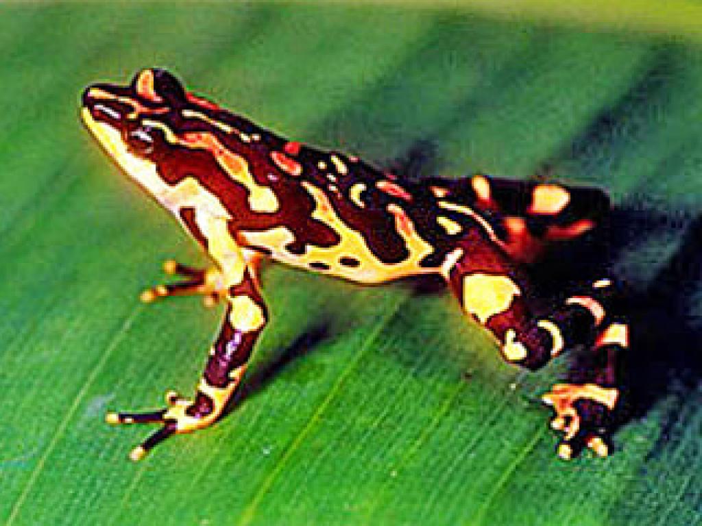 Harlequin Frog Costa Rica Monteverde