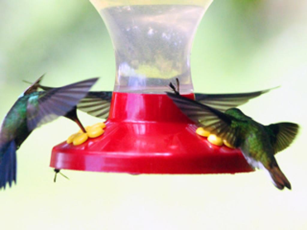 Hummingbirds Curi-Cancha Monteverde Costa Rica