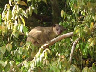 Kinkajou Wildlife Refuge Monteverde