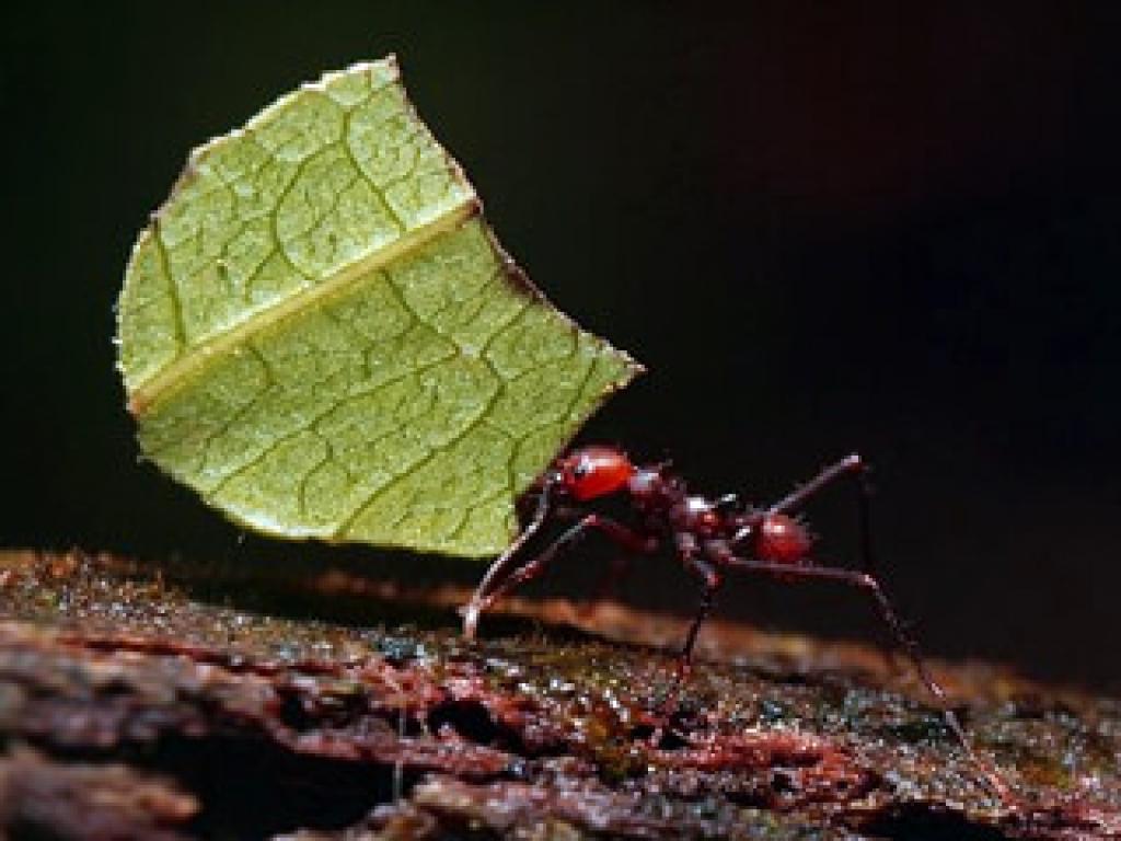 Leaf-cutter Ants in Monteverde Forest