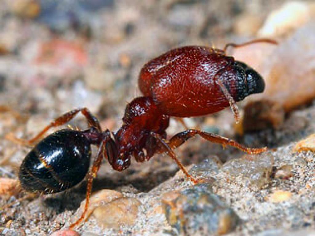 Leaf-cutter Soldier Ant Monteverde