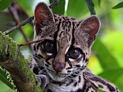 Cloud Forests Monteverde Wild Cats Travel Blog