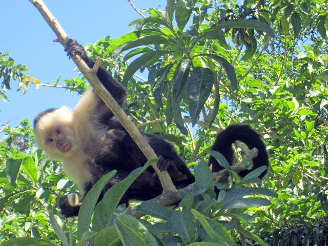 Capuchin Monkeys Costa Rica