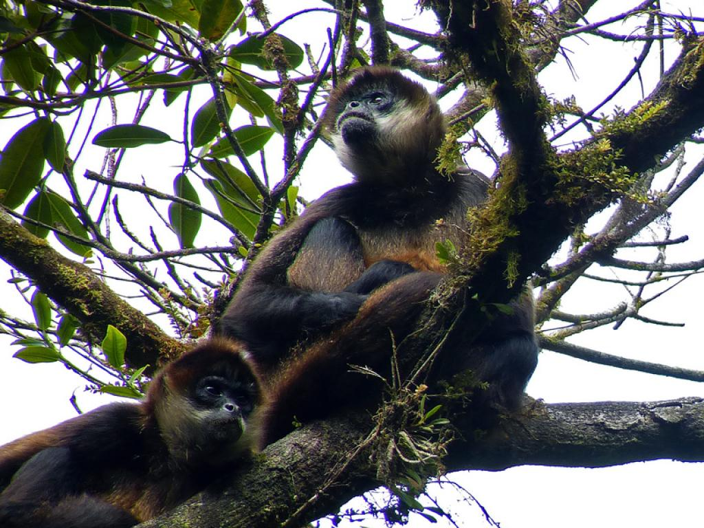 Monkeys at the Monteverde Cloud Forest