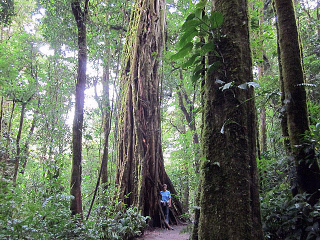 Trees in the Monteverde Forest