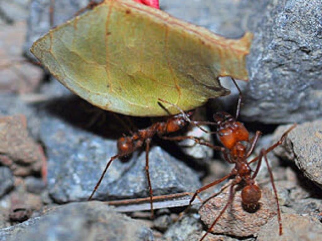 Industrious Leaf-cutter Ants of Monteverde