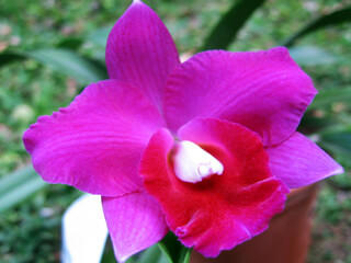 Colorful Orchid Monteverde Cloud Forest