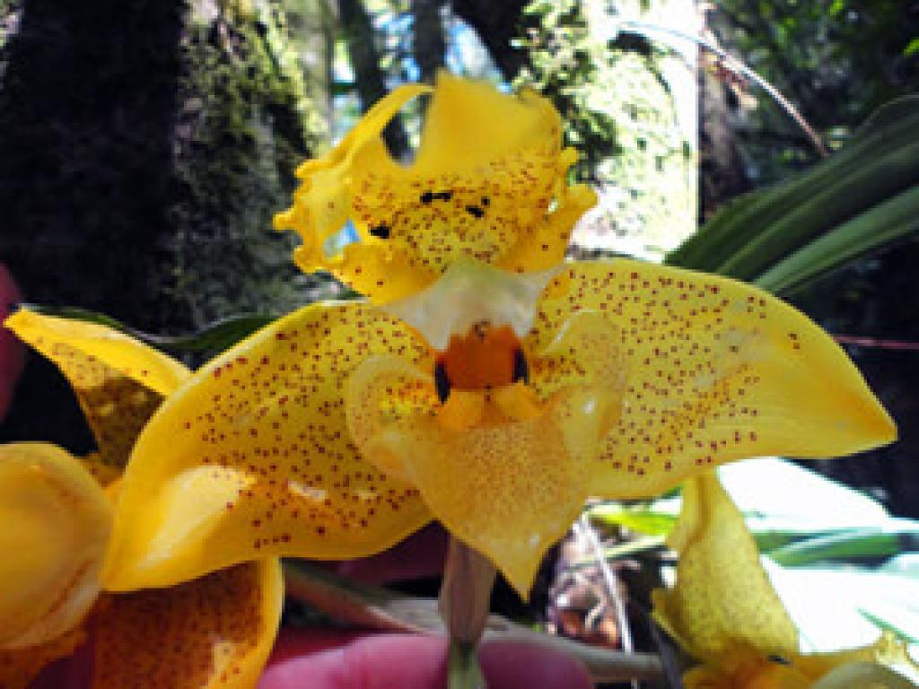 Orchids Monteverde Costa Rica
