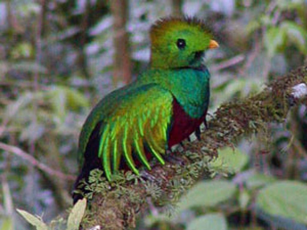 Quetzal in Monteverde Curi Cancha