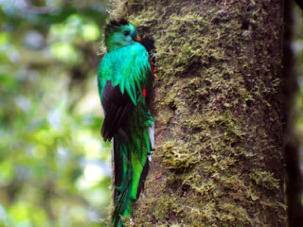 The Famous Queztal in the Monteverde Clould Forest