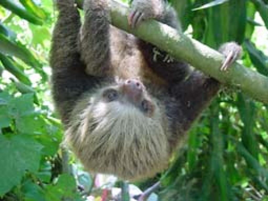 Sloth Monteverde