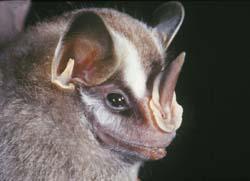 Costa Rica Monteverde Bat Jungle